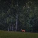 Večerní pastva