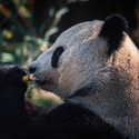 Panda veliká
