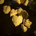 Podzimní lípa