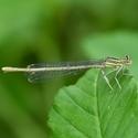 Šidélko brvonohé - Platycnemis pennipes - samička
