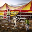 Cirkus v pruzích...