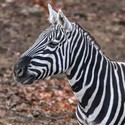 zebra v zoo Lešná