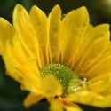 Chryzantéma žlutá