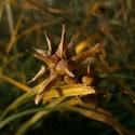 Malý obrazový atlas rostlin: Ostřice Grayova