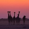 ...žirafy...
