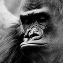 Shinda a gorile :)