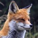 Liška z Tater