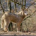 Kanadský vlk