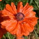 Květ vlčího máku