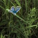 Modrásek jetelový/Polyommatus bellargus