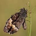 Okáč medyňkový - Hipparchia fagi