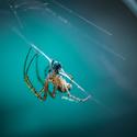 Hodující pavouk