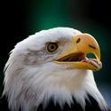 Orel bělohlávý