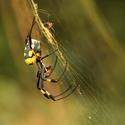 Nephila Senegalensis