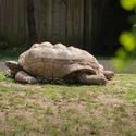 Aldabra giant tortoise (Zelva obrovska)