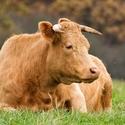 Kráva a moucha