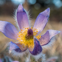 Rozevřený květ