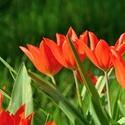 Jarní pán, Tulipán...