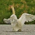 Labutí tanec