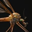 komár.samček
