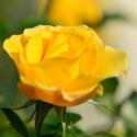 Žlutá kráska.