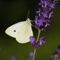 Bílý motýl a levandule