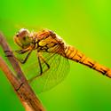 Vážka obecná - holka