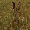 Zajíc polní(Lepus europaeus)
