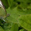 Motýlí středovka