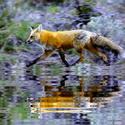 Běží liška k Táboru ( ale pytel zázvoru nemá)