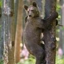 Ako opica