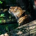 Leopard vyhlíží slunce