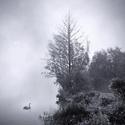 Labutí mlhavé ráno