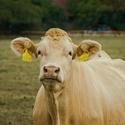 Fotogenická kráva :)