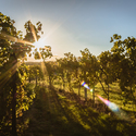 Vine and sun