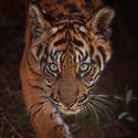 Mládě tygřice sumaterské