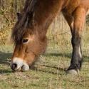 z pastvin divokých koní