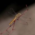 Vážka hnědoskvrnná (samice)