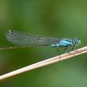 Šidelko větší - Ischnura elegans