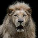 Bílý lev