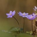 Jaterník podléška (Hepatica nobilis Schreb.)