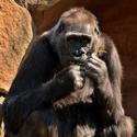 Gorila nížinná - Kamba