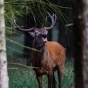 Troubící jelen