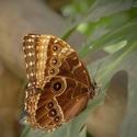 Motýlek....