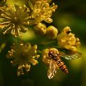 Pestřenka pruhovaná (Episyrphus balteatus) na lipovém květu