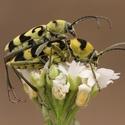 Tesaříci (Chlorophorus varius)