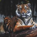 Tygr sumaterský