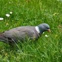 Holoubek v trávě