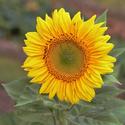 mladá Slunečnice