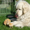 Syndie s kuřátky .....